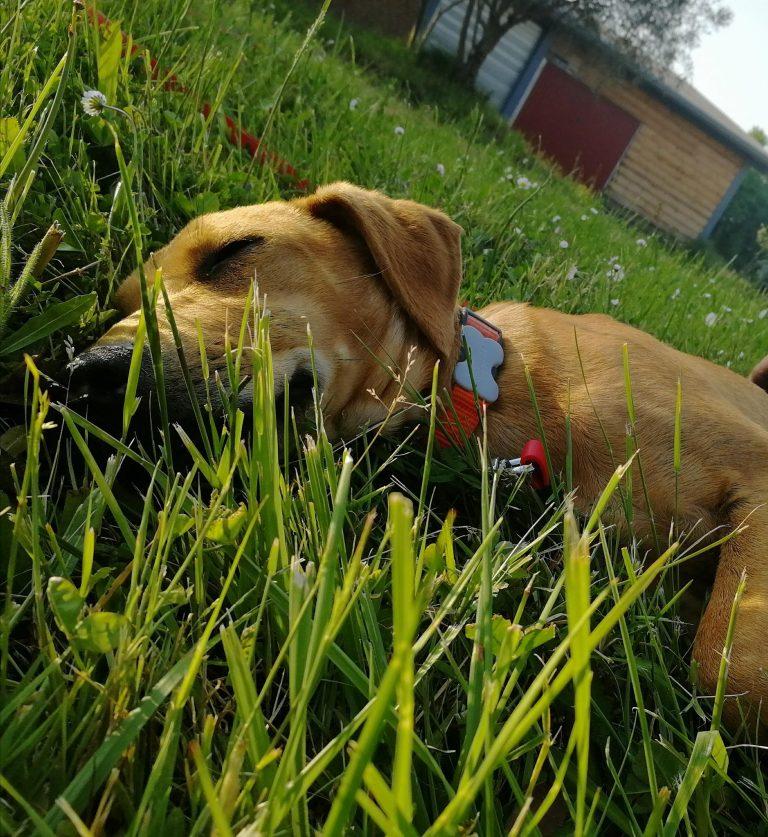 Animalement Nôtre - Photo chien allonger dans l'herbe